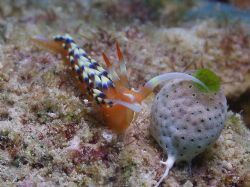 Nudi- This fella was only 10mm long Great Barrier Reef Aust by Joshua Miles